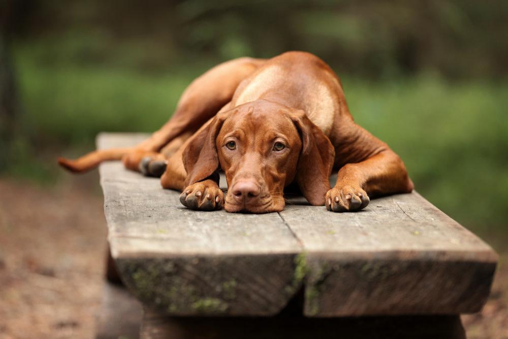 CBD Dog Treats for Arthritis