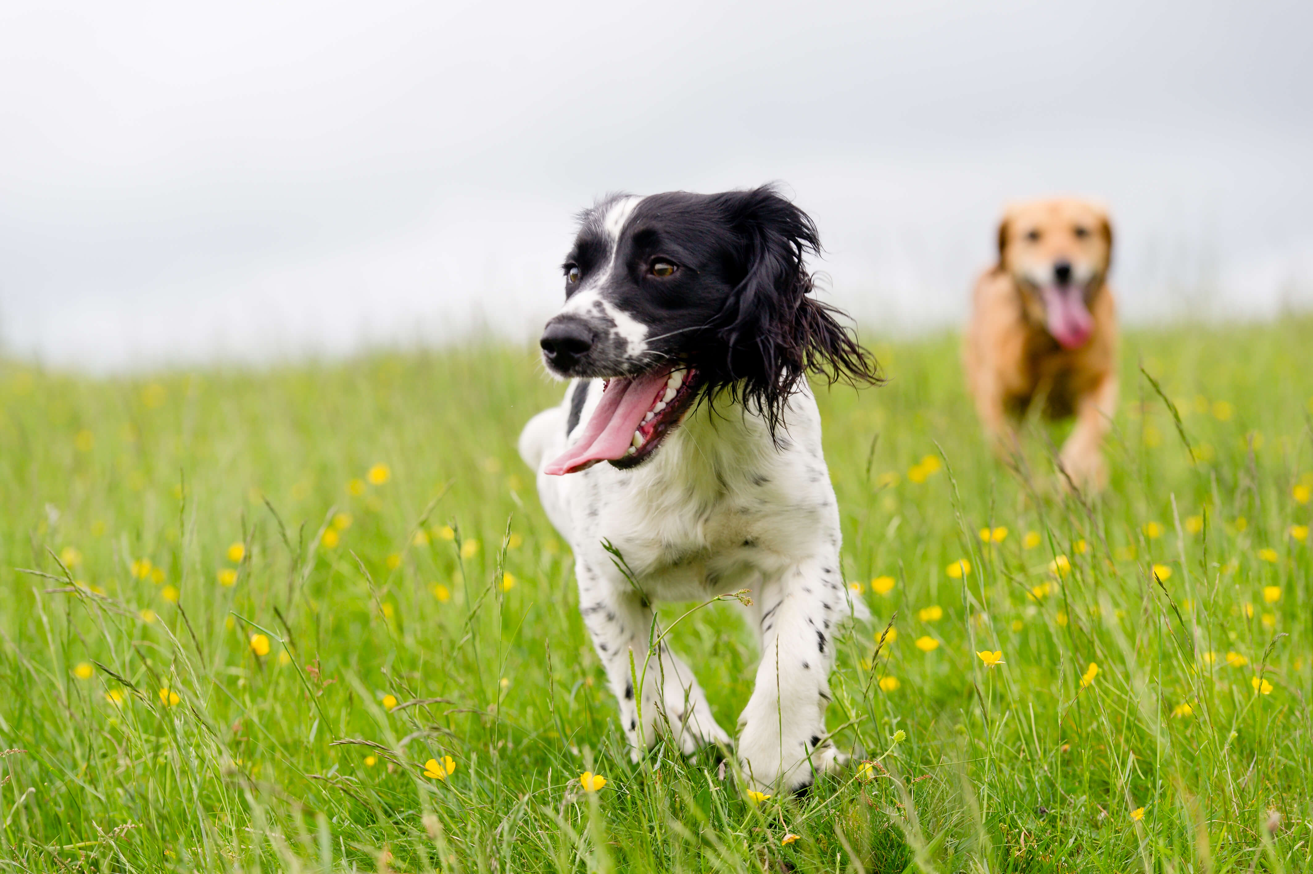 A springer spaniel and a mixed breed brown dog running in a field of yellow flowers.