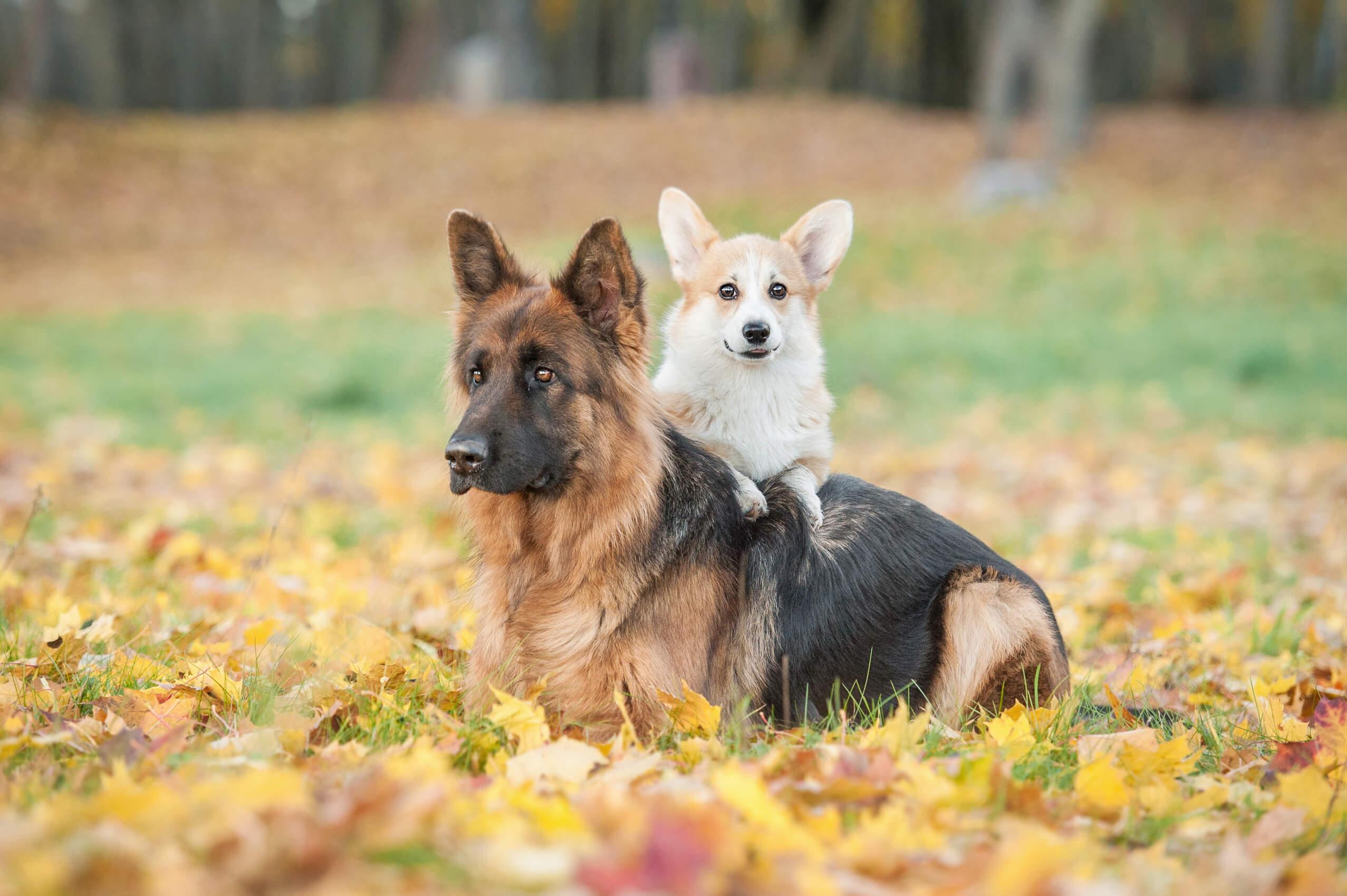 german shepherd and corgi laying down together