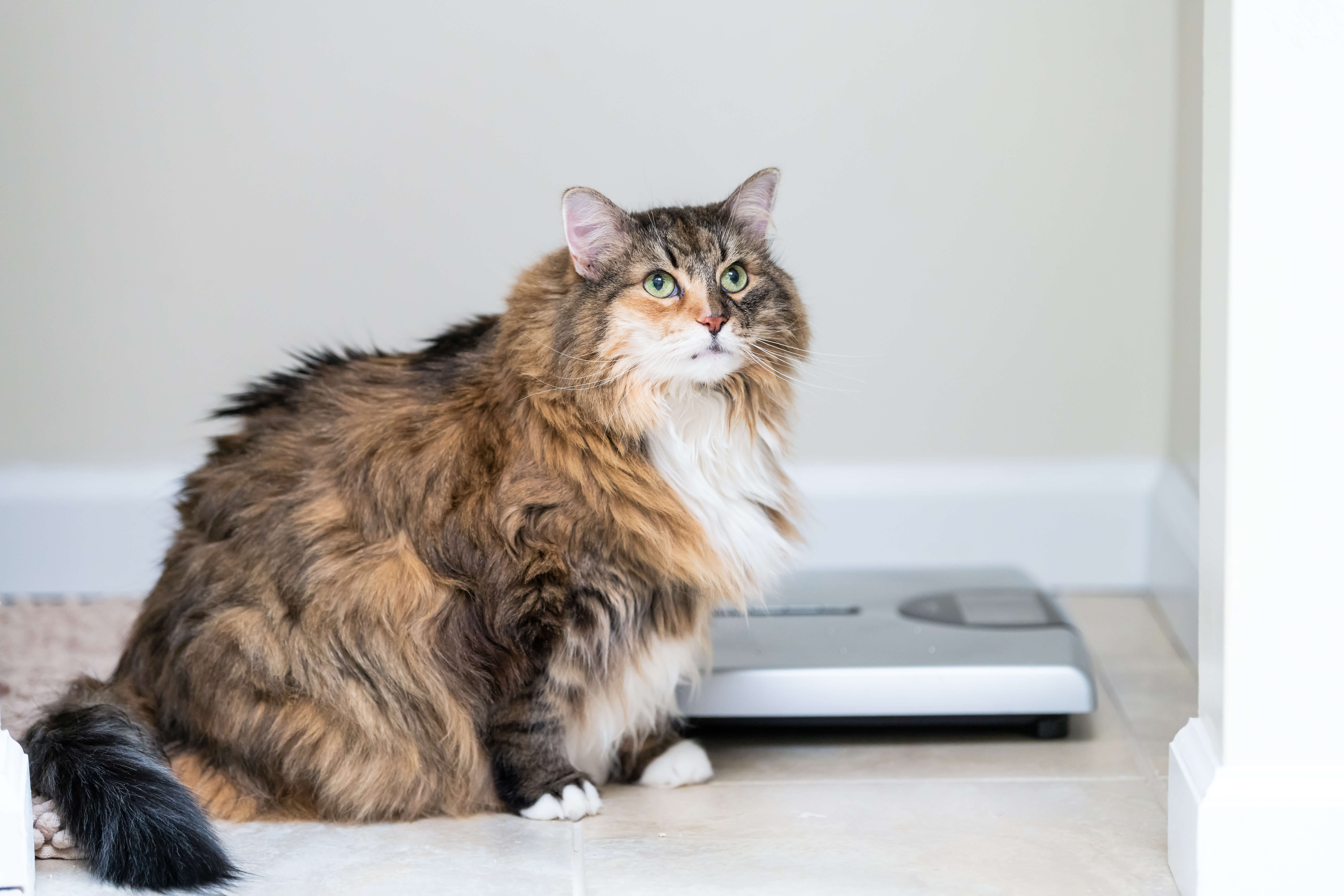 obese cat next to scale