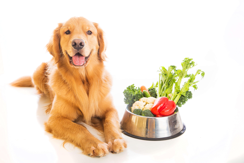 golden retriever laying next to bowl of vegan food