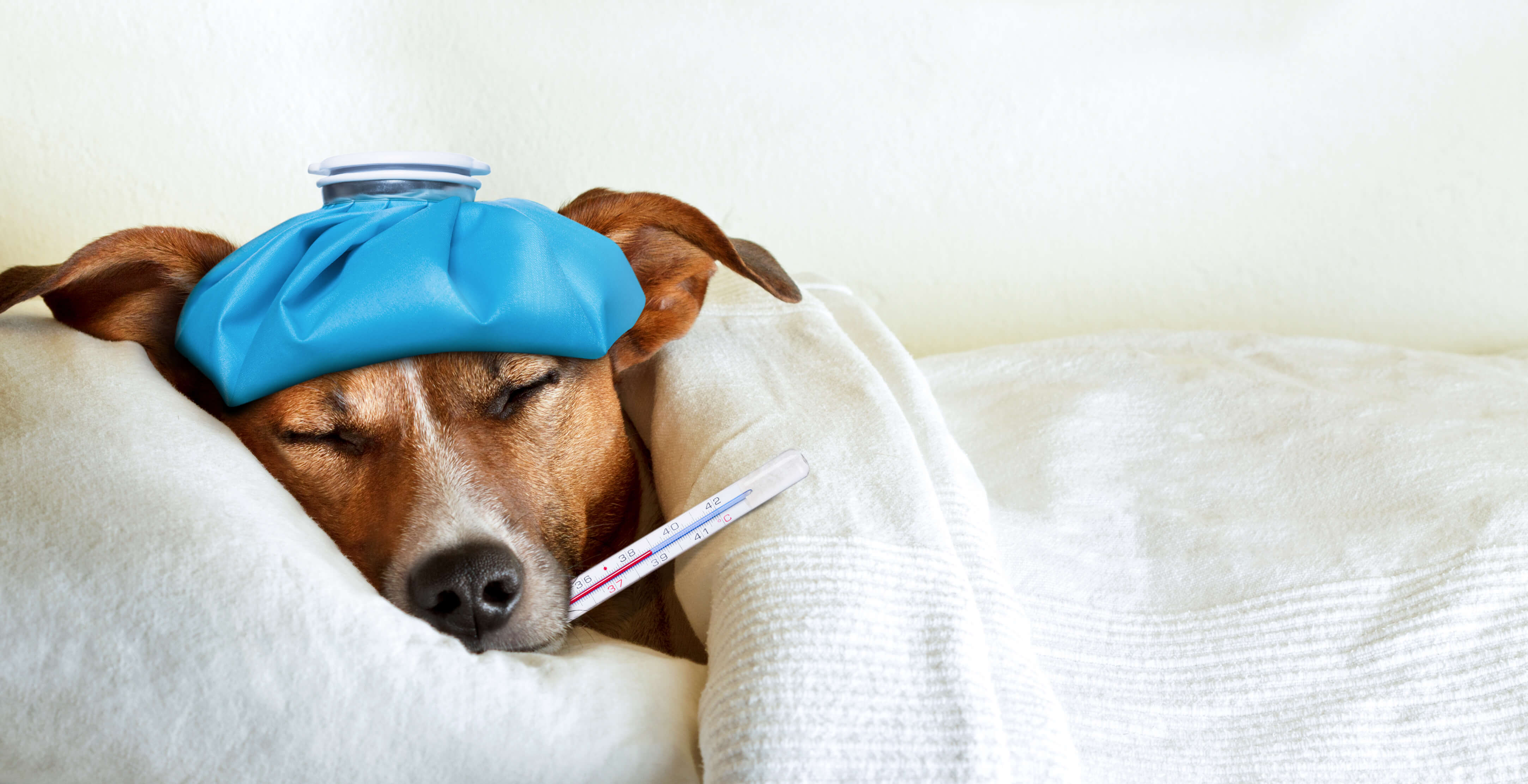 sick dog laying down