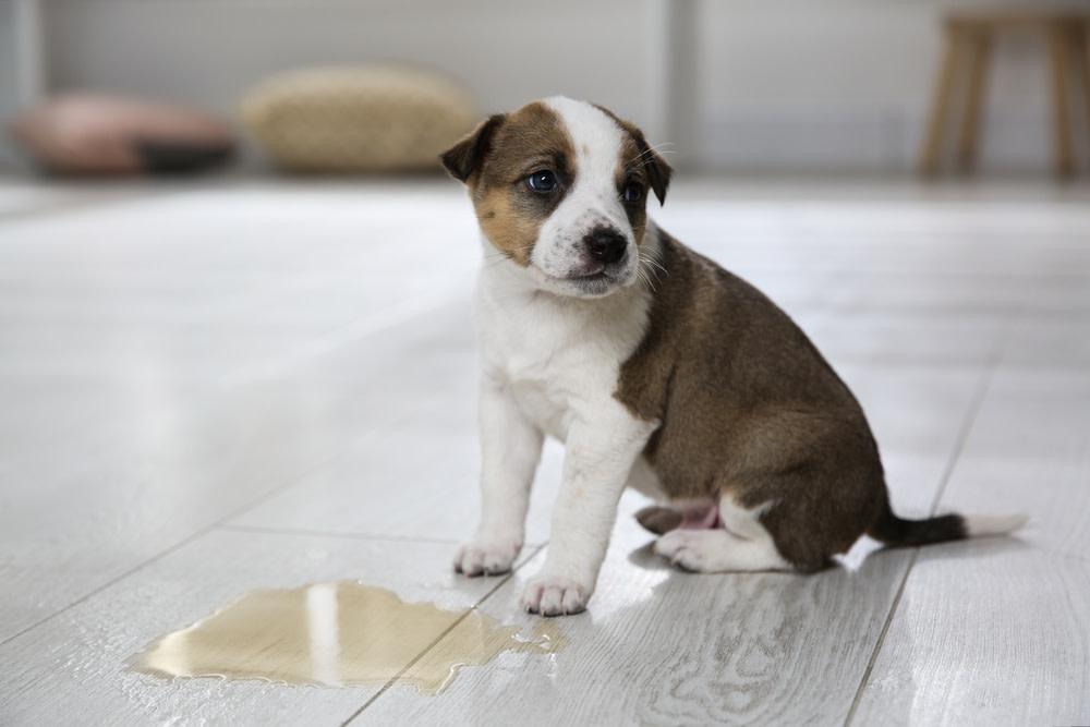 Symptoms of a UTI in Dogs