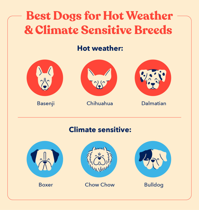 A list of the best dogs for hot weather and climate sensitive breeds