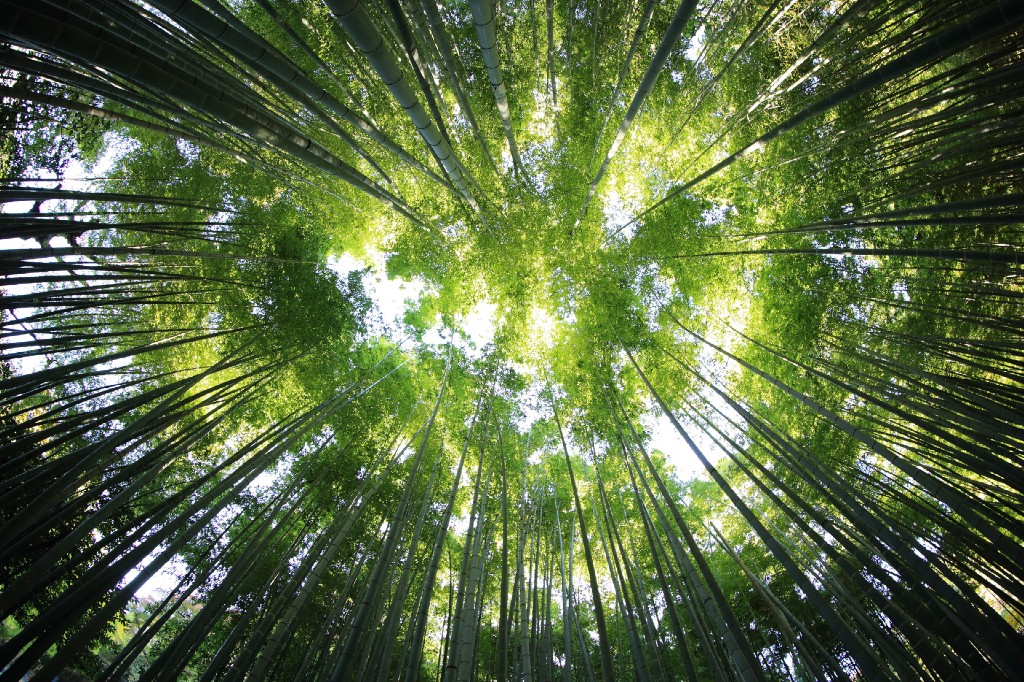 """A low-angle shot of a canopy of bamboo leaves"""