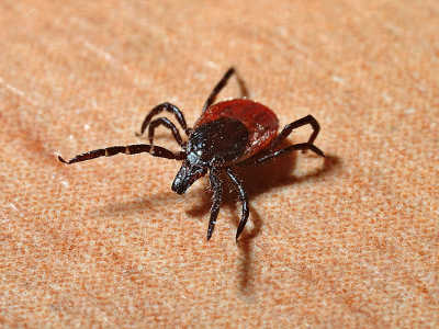 What To Do If You Find A Tick