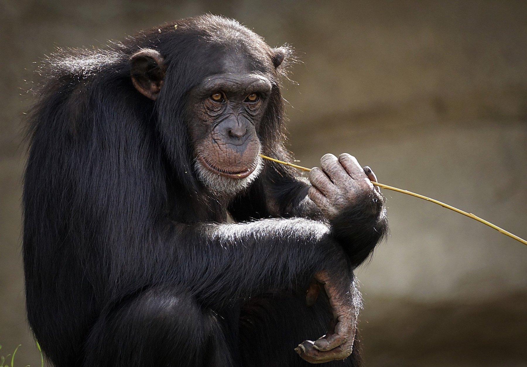 chimpanzee-3703230 1920