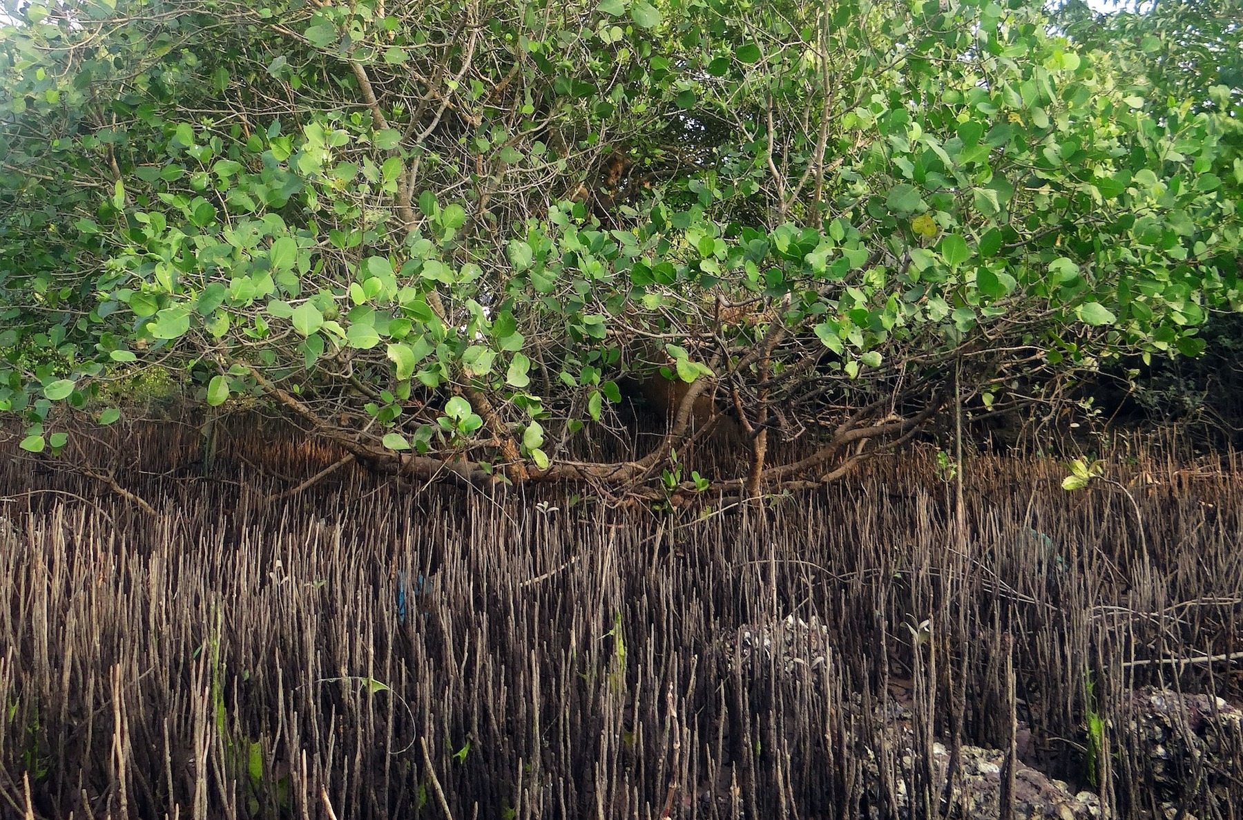 mangrove-species