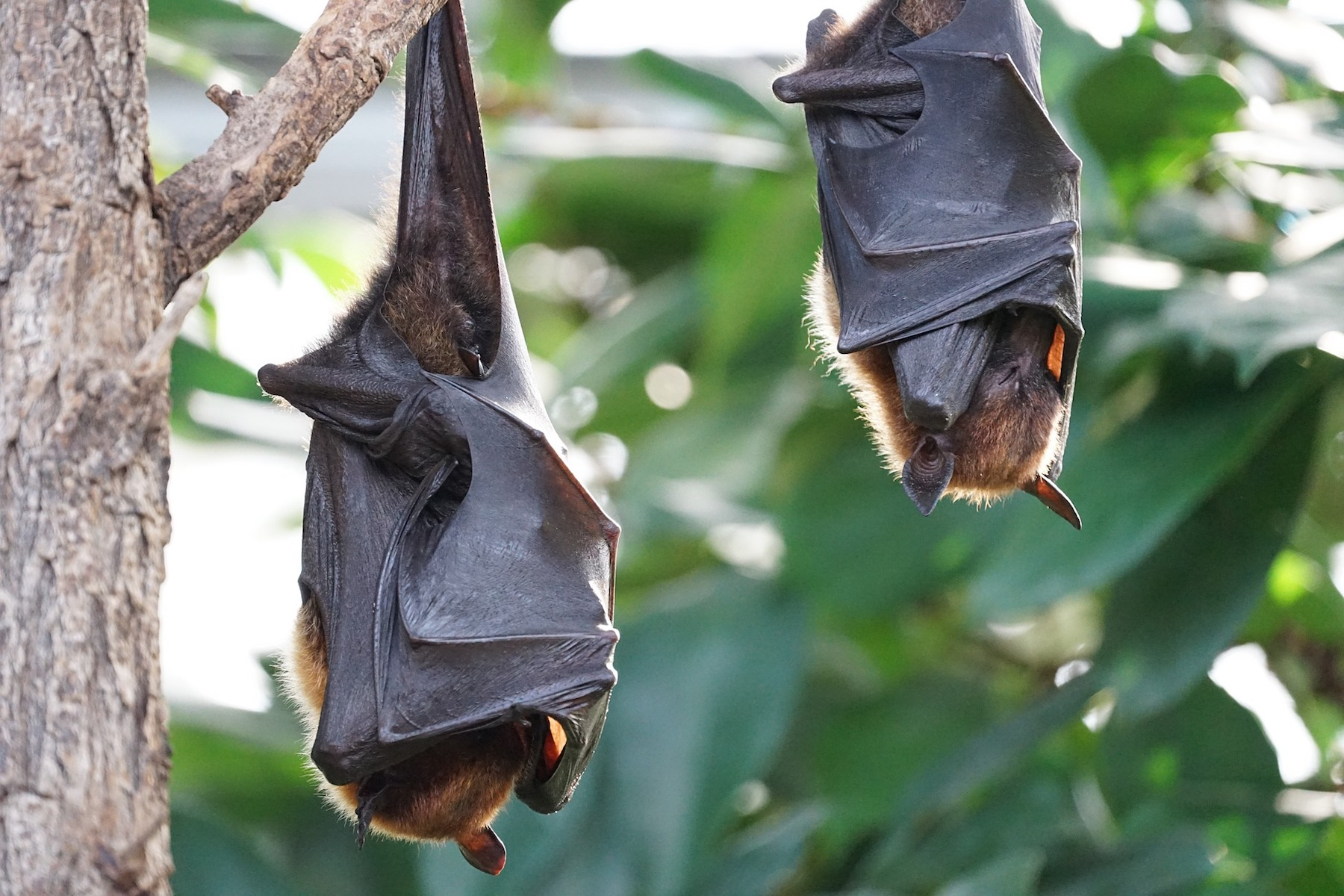 flying-foxes-2237209 1920