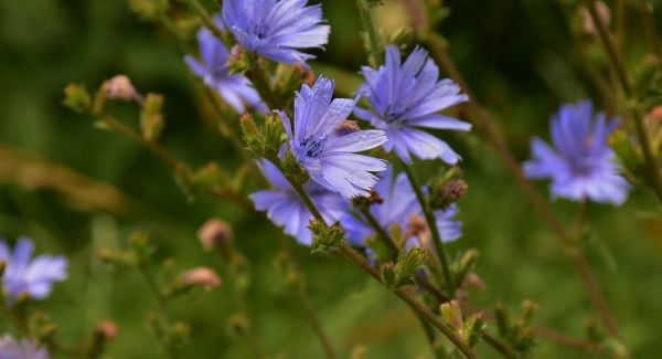 cornflower-germany