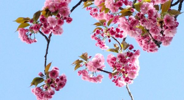 /japanese-words-cherry-blossom/