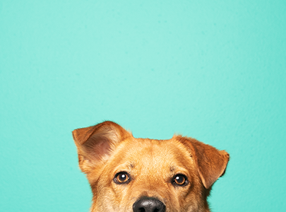 Dog Peeping Face On Teal Background