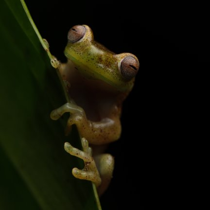 Bella Lack - Hylocirtus sp. nov. tree frog