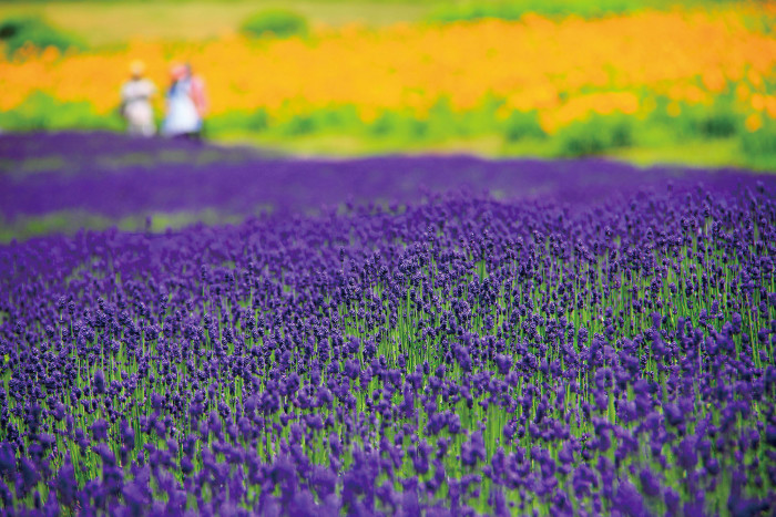 Ten Colorful Flower Fields and Festivals in Gunma