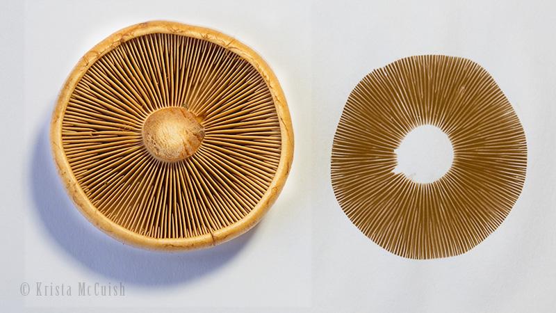 Nature School Project Mushroom Spore Printing Sparkle Stories