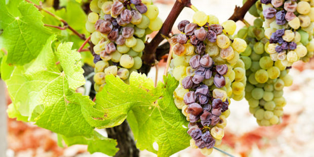 botrytis-grape.jpg