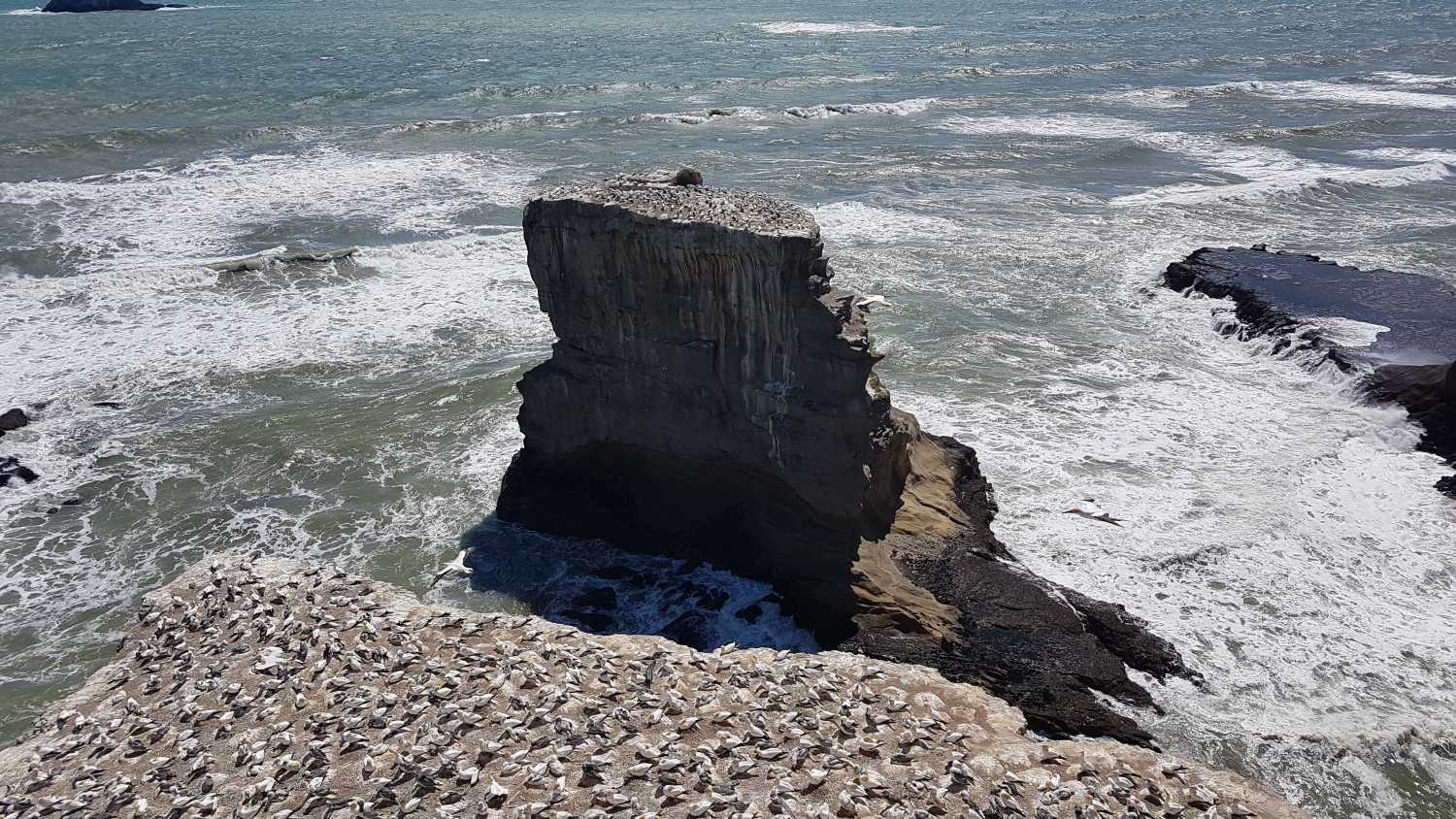 Muriwai beach gannet colonies in spring
