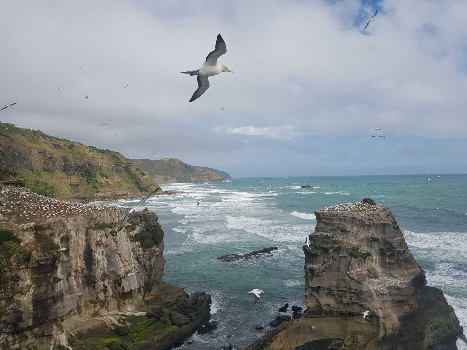 The gannet colonies of Muriwai Beach