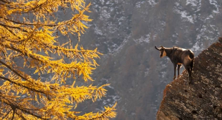 Chamois in the wild
