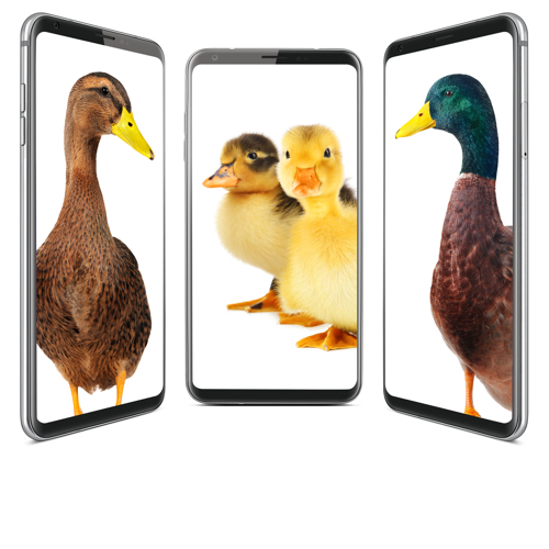 Ducks on Phones