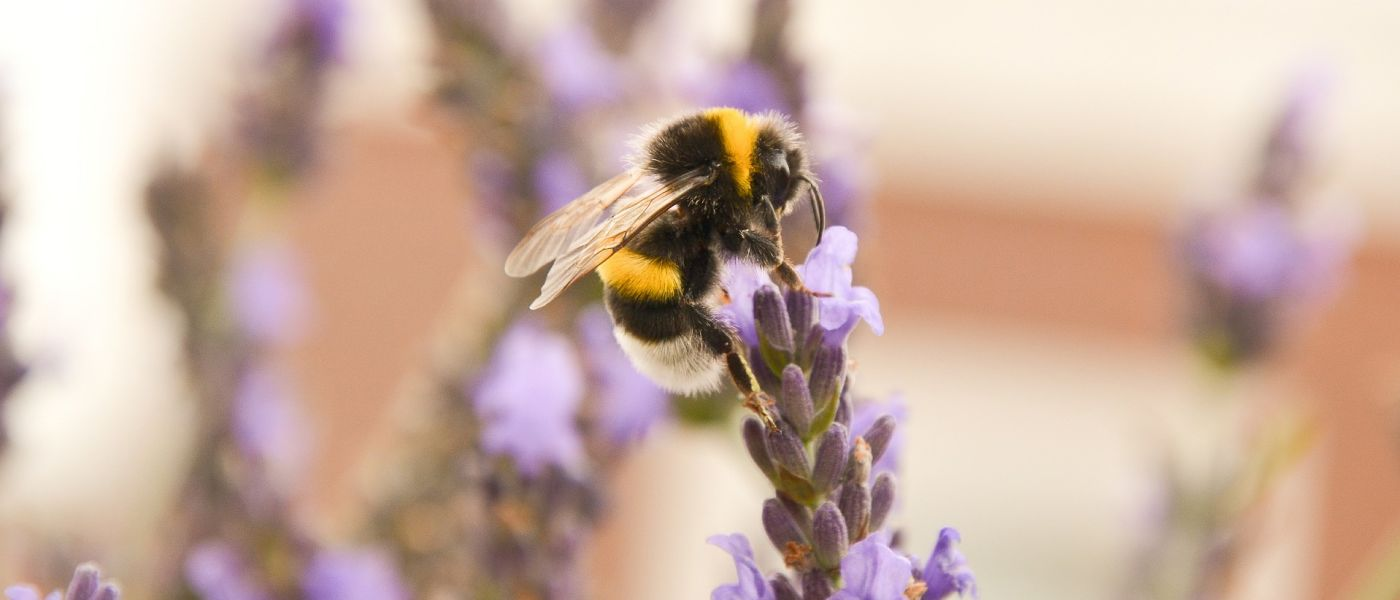 closeup shot of bee pollinating a purple flower