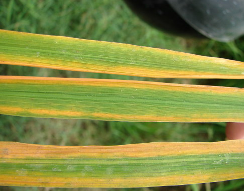 Potassium Deficiency in Rice