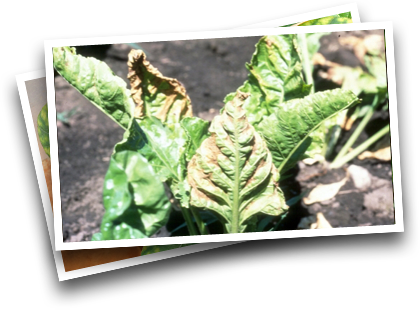 Symptoms in Sugarbeets