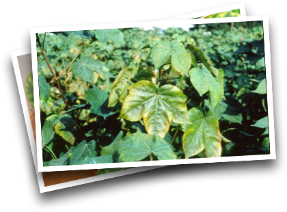 Symptoms in Cotton