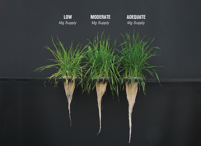 Shoot and root growth of wheat plants with low, moderate and adequate magnesium supply. (Source: Cakmak, 2013, Plant and Soil)