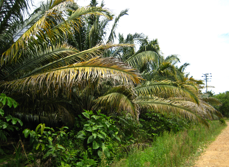 Magnesium Deficiency in Oil Palm
