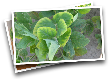 Symptoms in Soybeans