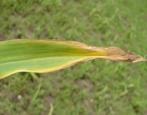 Potassium Deficiency in Corn