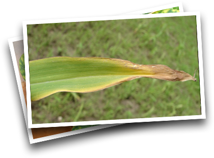 Symptoms in Corn