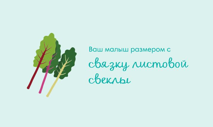 37-я неделя беременности  Ваш малыш размером со  связку листовой свеклы
