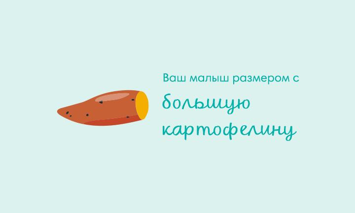 18-я неделя беременности  Ваш малыш размером с  большую картофелину