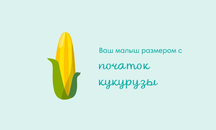 24-я неделя беременности  Ваш малыш размером с  початок кукурузы