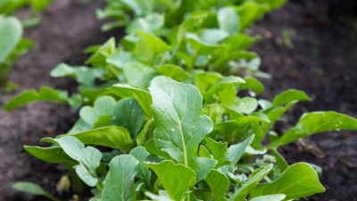 how-to-grow-greens-in-your-home-garden