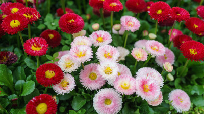 english-daisy-guide