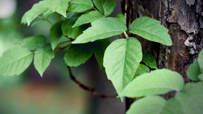 ways-to-get-rid-of-poison-ivy-in-your-yard