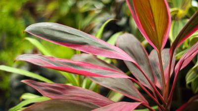 cordyline-plant-guide