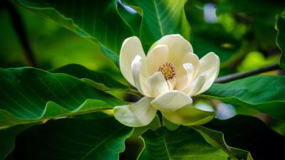 magnolia-tree-types