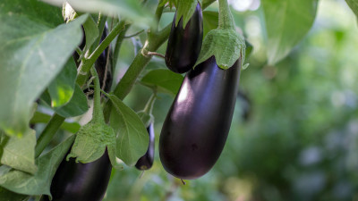 how-to-grow-eggplant-in-your-garden