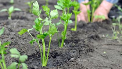celery-companion-gardening-guide
