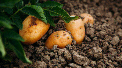 how-to-grow-and-harvest-potatoes-at-home