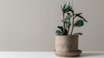 how-to-grow-rubber-tree-houseplants