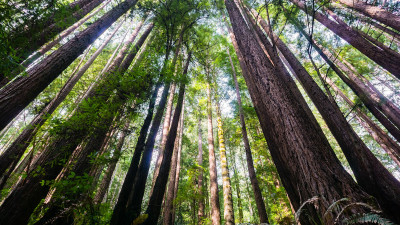 redwood-trees-explained