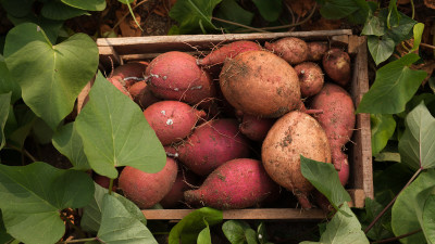 how-to-grow-and-harvest-sweet-potatoes-in-your-garden