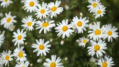 marguerite-daisy-care-guide
