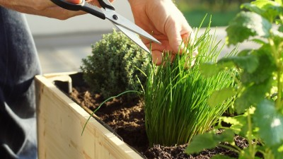 chives-companion-planting-guide