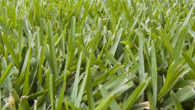 st-augustine-grass-guide